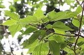 一滴水紀念館 - 新北市淡水區淡水和平公園 20150417:IMG_7911 構樹母.jpg