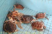 泰國攀牙海龜生態保育中心 20160207:IMG_5714 跛足 Lame Turtle.jpg