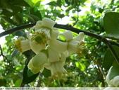 我每年中秋吃柚子, 柚子花第一次看:P1020326.JPG