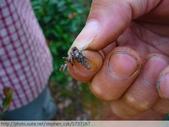 茶園害蟲 - 布袋蟲.避債蟲.躲債蟲 2012/06/07:躲債蟲P1070198.jpg