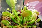 爬行動物捕蠅草 Dionaea Reptile 20181119:爬行動物捕蠅草 51735.jpg