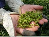 東方美人, 上天巧妙安排的神奇美味-首部曲, 採茶:P1030021.JPG