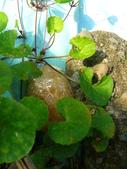 有機菜園的意外看見青蛙交配 (青蛙下蛋) 3P 喔!:P1070164.JPG