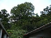 桃園龜山楓樹村的百年楓香-楓樹村18鄰40號(光華路) 2010/08/19:P1090169.JPG