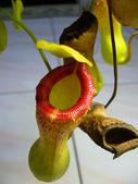 食蟲植物 葫蘆x勞氏x窄葉 豬籠草 20210212:P1070846.jpg
