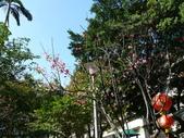 吉野櫻 VS 重瓣山櫻花 2010/02/08:P1070195.JPG