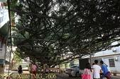 嘉義鹿草中寮安溪城隍廟盤天樹 2013/08/11:IMG_7606.jpg