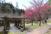 2021年 武陵農場 山櫻花、紅粉佳人 繽紛綻放 20210214:IMG_4315.jpg