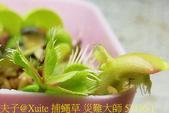 捕蠅草 災難大師 Dionaea Master of Disaster 20181128 :捕蠅草 災難大師 57176-1.jpg