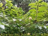 台北市 木柵公園 萃湖 20190602:IMG_20190602_082237 風箱樹.jpg