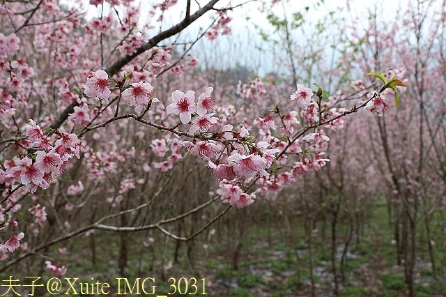 武界櫻花:霧社櫻、福爾摩沙櫻、 富士櫻、香水櫻 20150221:IMG_3031  香水櫻.jpg