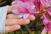 東引 紅藍石蒜 換錦花 玫瑰石蒜 2018/08/23:IMG_5595  紅藍石蒜 花被片輕度反捲.jpg