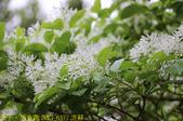 台北市內湖區碧湖公園 20210317:IMG_6377 流蘇.jpg
