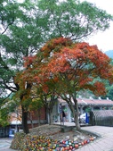 石門水庫楓葉紅了 2011/11/28:P1030460.jpg