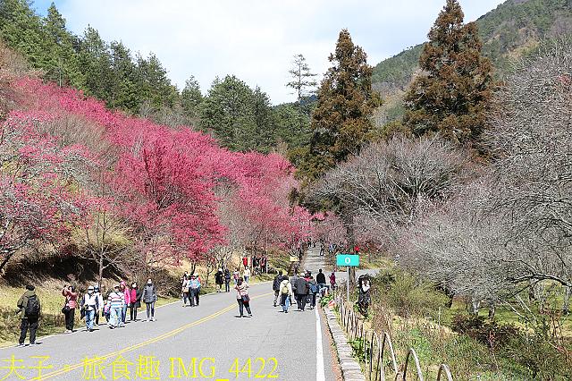 2021年 武陵農場 山櫻花、紅粉佳人 繽紛綻放 20210214:IMG_4422.jpg