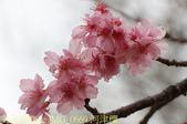 新竹公園 河津櫻 花開繽紛添新色 2017/02/23:IMG_0669 河津櫻.jpg
