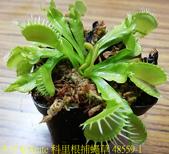 科里根捕蠅草  Dionaea Korrigans 20181112:科里根捕蠅草 48559-1.jpg