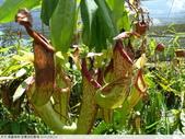 食蟲植物-宜蘭波的農場 2010/08/26:P1090332.JPG
