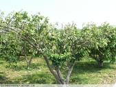 我每年中秋吃柚子, 柚子花第一次看:P1020316.JPG