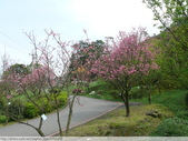 汐止大尖山天秀宮櫻花 2011/03/14:P1010574.JPG