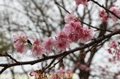 新竹公園 河津櫻 花開繽紛添新色 2017/02/23:IMG_0668 河津櫻.jpg