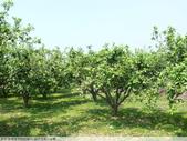 我每年中秋吃柚子, 柚子花第一次看:P1020330.JPG