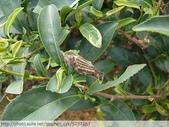 茶園害蟲 - 布袋蟲.避債蟲.躲債蟲 2012/06/07:躲債蟲-P1090209.jpg