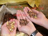 東一嚴選 - 苦茶油,冷壓初榨小果種苦茶油 20161227:茶油籽分類-1.jpg