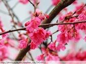 桃園虎頭山桃園高中櫻花開了! 2012/02/06:P1050028.jpg
