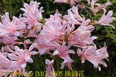 東引 紅藍石蒜 換錦花 玫瑰石蒜 2018/08/23:IMG_5605 換錦花.jpg
