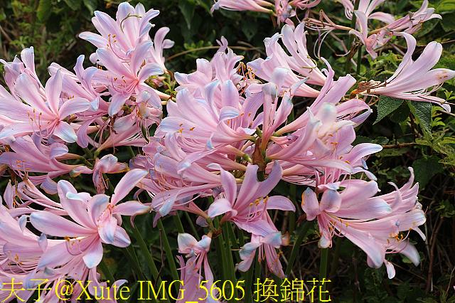 IMG_5605 換錦花.jpg - 東引 紅藍石蒜 換錦花 玫瑰石蒜 2018/08/23