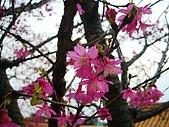 桃園市虎頭山櫻花開了 2010/01/31:P1000202-1.jpg