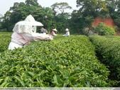 東方美人, 上天巧妙安排的神奇美味-首部曲, 採茶:P1030050.JPG