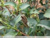 茶園害蟲 - 布袋蟲.避債蟲.躲債蟲 2012/06/07:躲債蟲-P1090210.jpg