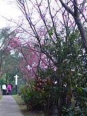 桃園市虎頭山櫻花開了 2010/01/31:P1000192.JPG