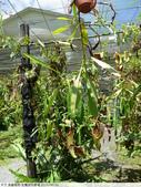 食蟲植物-宜蘭波的農場 2010/08/26:P1090334.JPG