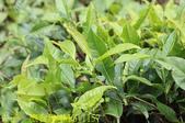 寶山拿普原生茶有機茶園  20201017:IMG_1157.jpg