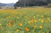 桃園龜山楓樹村黃波斯菊 2013/11/22:IMG_3943.jpg