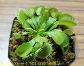 海神捕蠅草 Dionaea Triton 食蟲植物 20181108:47501海神捕蠅草.jpg