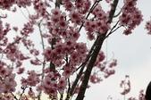 武界櫻花:霧社櫻、福爾摩沙櫻、 富士櫻、香水櫻 20150221:IMG_3033  香水櫻.jpg