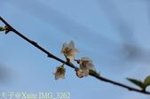 武界櫻花:霧社櫻、福爾摩沙櫻、 富士櫻、香水櫻 20150221:IMG_3262 霧社櫻.jpg