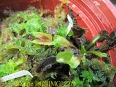 模糊牙捕蠅草 食蟲植物 20181106:融齒IMG_2274.jpg