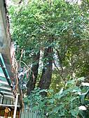 桃園龜山楓樹村百年楓香-楓樹路下土地公廟 2010/08/20:P1090219.JPG