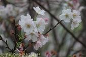 淡水楓樹湖古道木蘭花辛夷 20150225 :IMG_4155.jpg