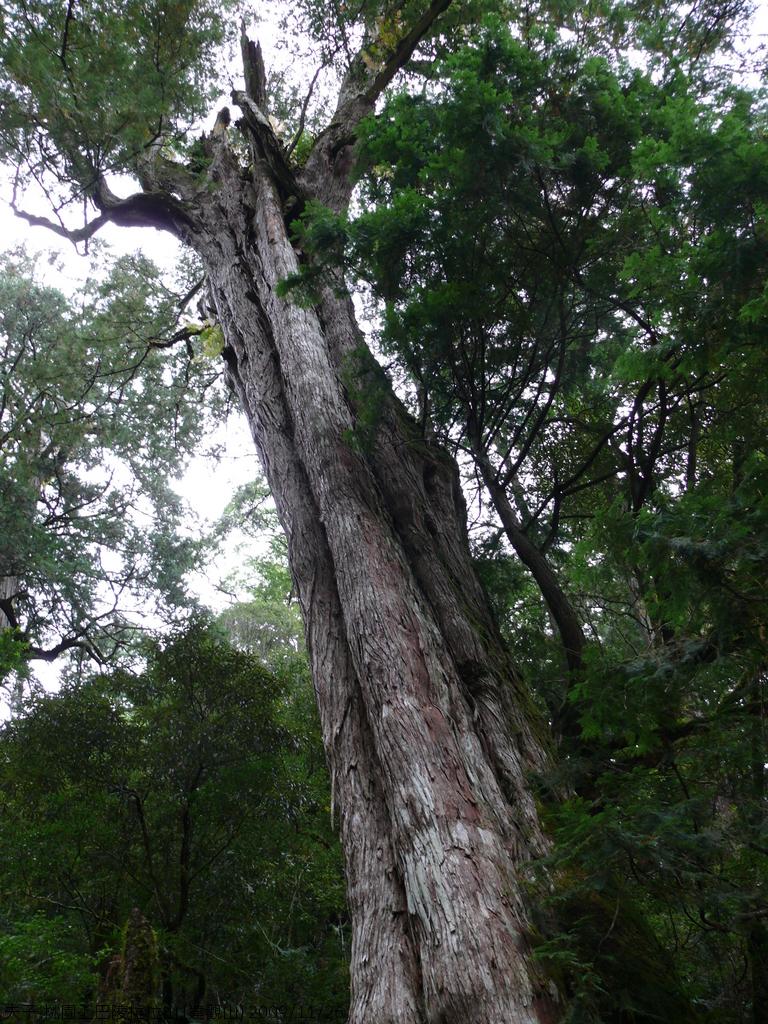 桃園上巴陵拉拉山 (達觀山) 2009/11/26 :P1050548.JPG