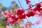 2021年 武陵農場 山櫻花、紅粉佳人 繽紛綻放 20210214:IMG_4677.jpg