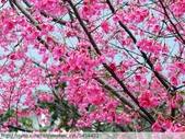 桃園虎頭山桃園高中櫻花開了! 2012/02/06:P1050038.jpg