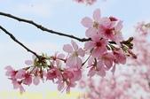 騰龍御櫻 櫻花綻放 2018/03/05:IMG_8840-1.jpg