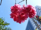 吉野櫻 VS 重瓣山櫻花 2010/02/08:P1070205.JPG