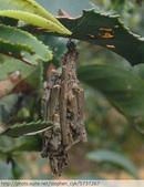茶園害蟲 - 布袋蟲.避債蟲.躲債蟲 2012/06/07:躲債蟲-P1090220-1.jpg